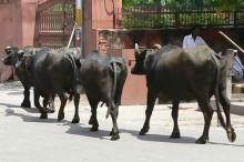 peleas-animales-calor-india
